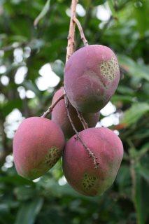 is mango gezond