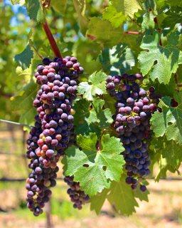 zijn druiven gezond